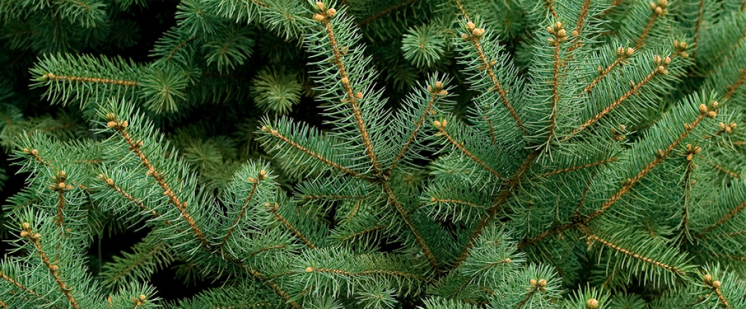 Heard About the 2018 Christmas Tree Shortage? Not a Problem at Roots Nursery!